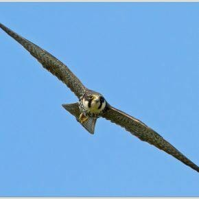 Everything in Motion - of Swallows and resistance to the Lower Thames Crossing